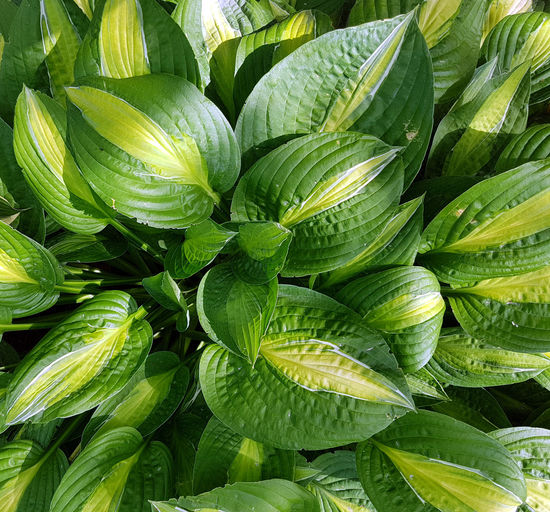 Tropical foliage Agriculture Backgrounds Beauty In Nature Close-up Day Food Food And Drink Freshness Full Frame Green Color Growth Healthy Eating Leaf Nature No People Outdoors Plant Vegetable