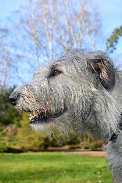 One Animal Animal Themes Animal Body Part Day Outdoors March 2017 Winter 2017 A Walk In The Park Portrait Dogslife Cearnaigh Irish Wolfhound Dogs Of Winter Dogs Of EyeEm Dog Of The Day Bokeh Dogwalk Eyes Are Soul Reflection Looking At Camera Domestic Animals Dog Scenics