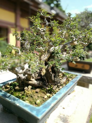 Bonsai Plant Focus On Foreground Close-up Growth Freshness Green Color Day Nature Green Botany Springtime Plant Life No People