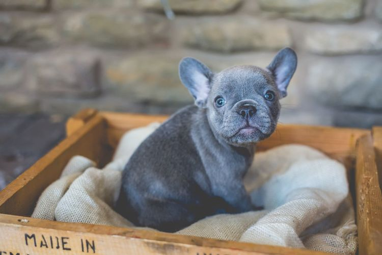 French Bulldog French Bulldog Puppy EyeEm Selects One Animal Animal Themes Animal Mammal Pets Dog Domestic Animals Canine No People Focus On Foreground Looking At Camera Portrait