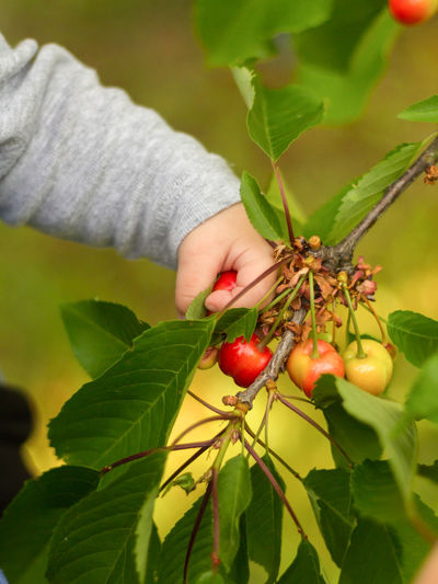 Baby's hands picking cherries Baby Hand Baby Hands  Berry Fruit Cherry Picking Cherry Tree Close-up Finger Food Food And Drink Freshness Fruit Green Color Growth Hand Healthy Eating Holding Human Body Part Human Hand Leaf Nature One Person Outdoors Plant Plant Part Red Ripe Wellbeing