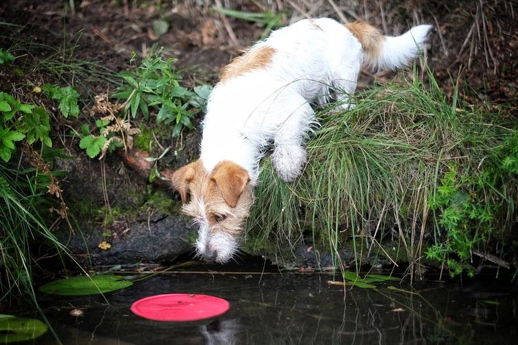 Animal Themes Dog Frisbee Dog Full Concentration. Jack Russell Jackrussell Lake Nature No People One Animal Outdoors Pets Target Trying To Reach Water