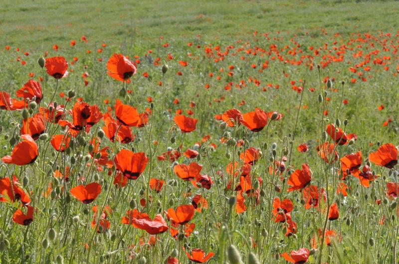 Red Poppy Flowers Growing In Field
