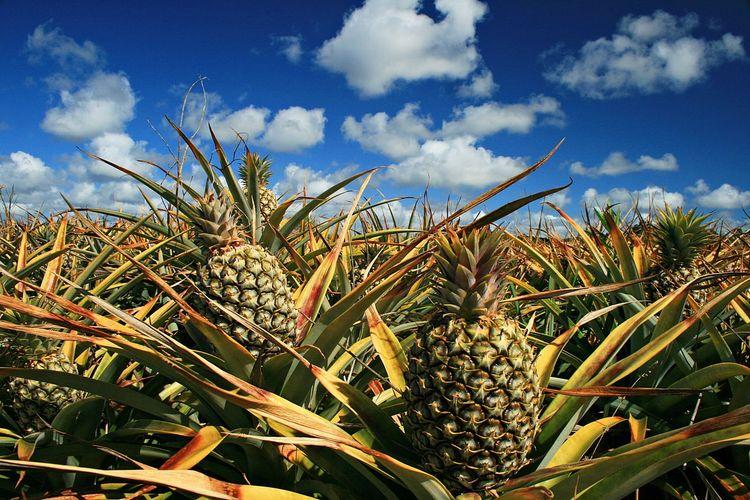 Pineapples growing on field against sky