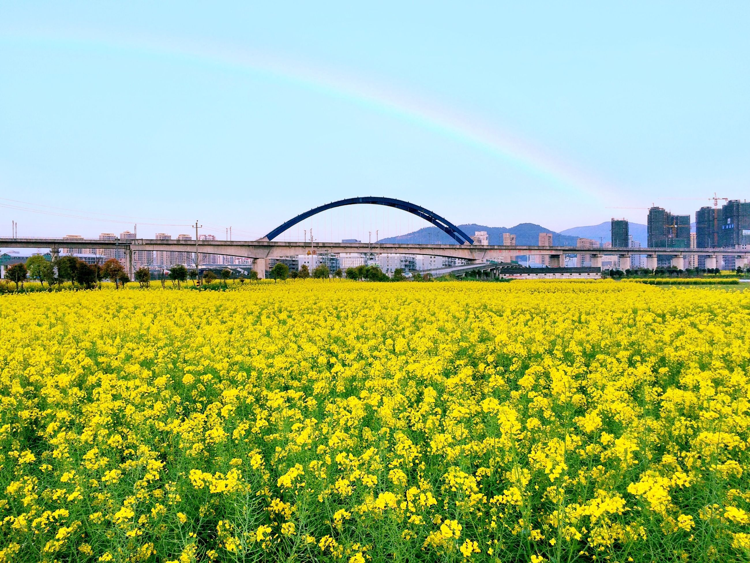 yellow, flower, clear sky, field, growth, freshness, rural scene, agriculture, architecture, copy space, beauty in nature, built structure, nature, fragility, oilseed rape, landscape, plant, abundance, sky, tranquil scene