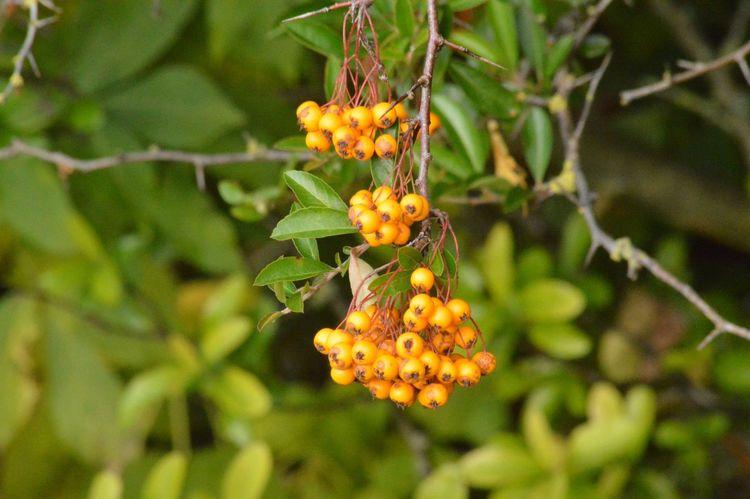 Yellow berries Maximum Closeness