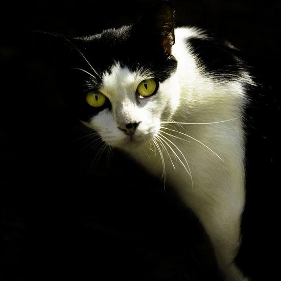 Golden Eyes Animal Themes Black Background Cat Catlovers Cutiepie Domestic Animals Domestic Cat Kitten Kittens Kitty Mammal Meow Mia Mycat Mycat♥ Pet Pet Photography  Pets Portrait Yellow Eyes
