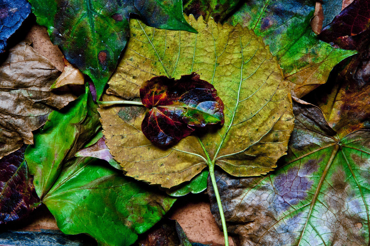 leaf, plant part, autumn, leaves, close-up, dry, nature, green color, no people, change, day, fragility, beauty in nature, high angle view, plant, vulnerability, leaf vein, falling, directly above, outdoors, maple leaf, natural condition