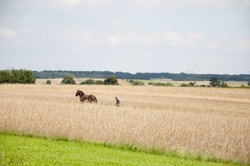 Wheat Field Poland RYE Wheat Field Farming Harvest Horse Landscape Plantation Plow Podkarpacie