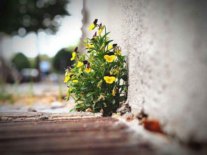 Pansy blooming on sidewalk