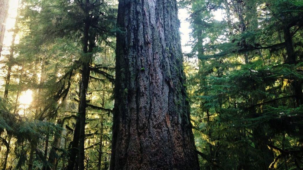 IPhoneography Light Forest Douglas Fir