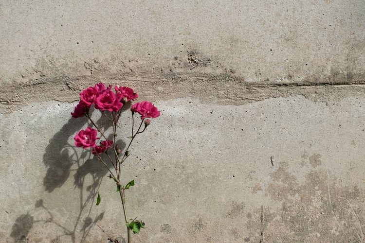 Flowering Plant Flower Plant Vulnerability  Fragility Beauty In Nature Freshness Nature Wall - Building Feature Petal Close-up Day Red No People Pink Color Outdoors Inflorescence Flower Head High Angle View Rosé Concrete Flower Arrangement