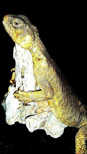 Uromastyx Dab Lizard Spiny Tailed Lizard Lizard Reptile