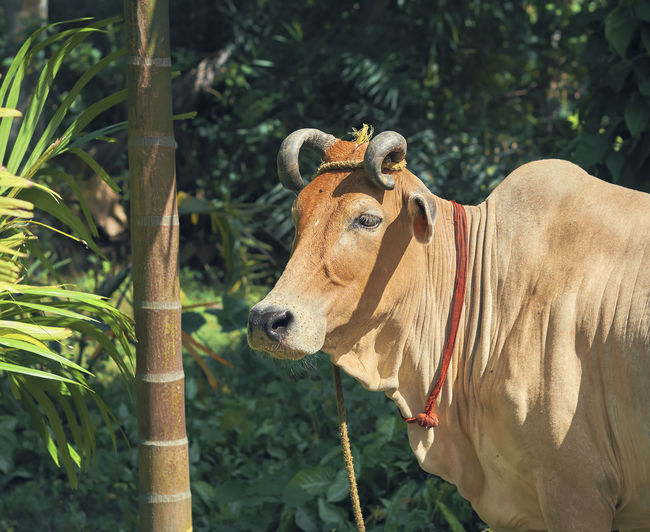 Indian domestic cow