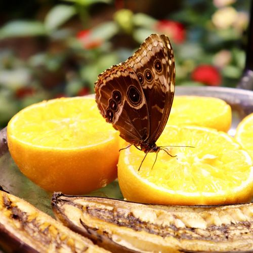 Orange Butterfly Fruit Food And Drink Food Citrus Fruit Close-up SLICE Freshness Focus On Foreground Indoors  No People Insect Animal Wildlife Table Invertebrate Sweet Food Animal Themes Animal Wing Healthy Eating Animal