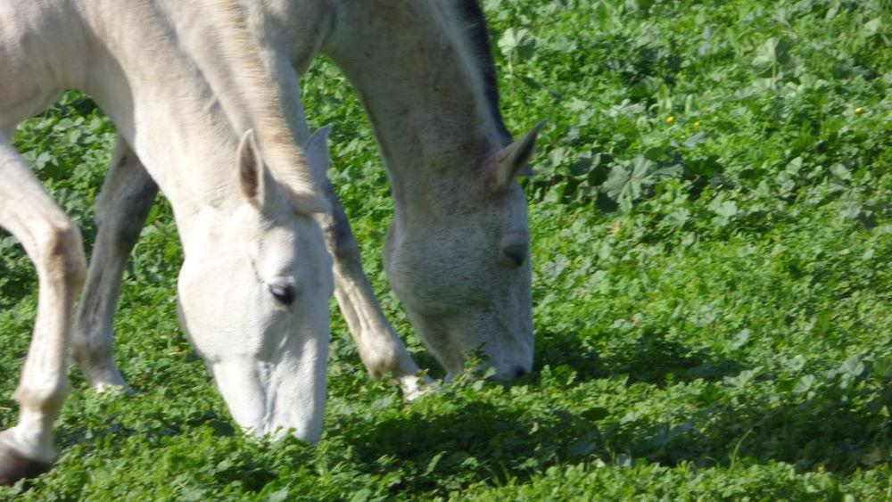 The horses on the field eating. Animal Themes Animals Domestic Animals Field Green Horses Horses Head :D Showcase: December White & Horse White Horse White Horses