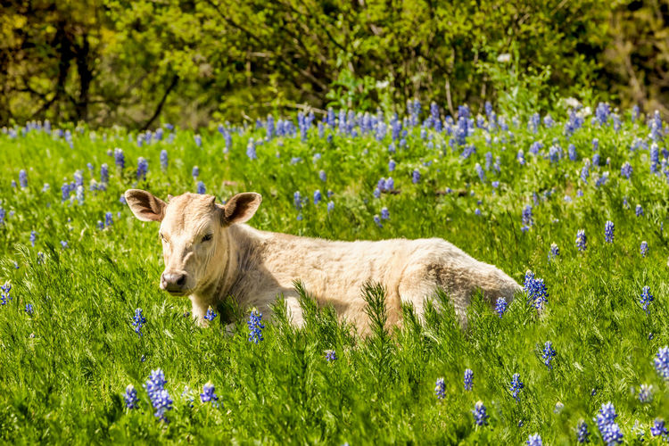 Calfs in Texas on a meadow with blue bonnets Calf Calfs Blue Bonnets Blue Bonnet Flowers Spring Springtime Texas Texas Hill Country Hill Country Livestock Cattle Cold Temperature Cows Rural Scene Meadow Lush Green Plant Mammal One Animal Animal Animal Themes Flowering Plant Flower Grass Nature Animal Wildlife Day No People Land Field Green Color Animals In The Wild Domestic Animals Outdoors Growth Portrait