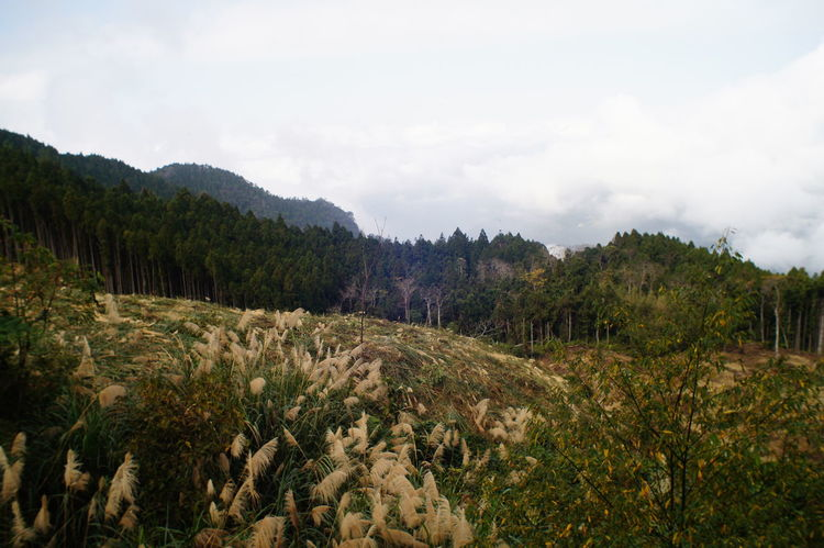 Pinaceae Pine Tree Nature Pine Woodland Forest Tree Landscape Scenics Beauty In Nature Evergreen Tree Mountain Sunset Growth Social Issues No People Sky Outdoors Pine Wood Lush - Description Day 臺灣羅山