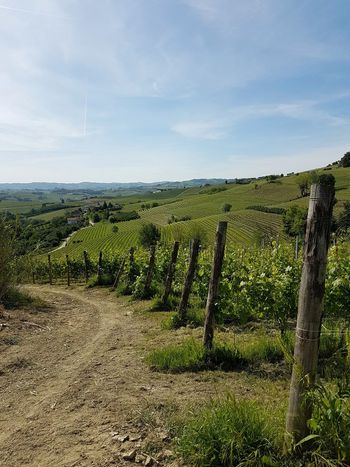 Agriculture Rural Scene Vineyard Field Grape Growth Winemaking Nature Wine Green Color No People Vine - Plant Landscape Winery Scenics Day Outdoors Sky Beauty In Nature Freshness Nebbiolovineyards Vineyards  Piedmont Italy Langhe Travel Destinations