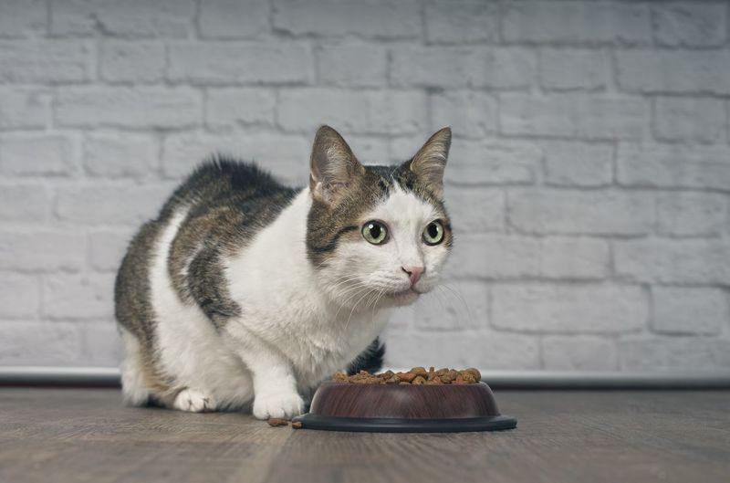 Old tabby cat