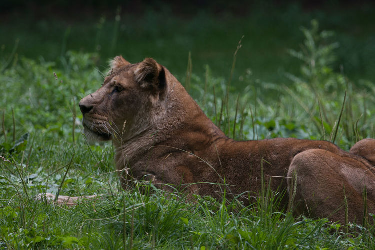 Side view of an animal relaxing on field