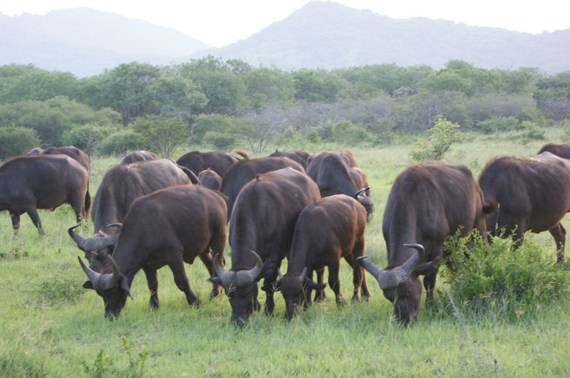 Herd of grazing cape buffalos