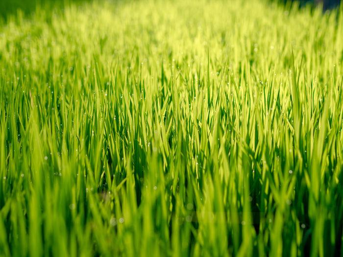 Full Frame Shot Of Rice Field