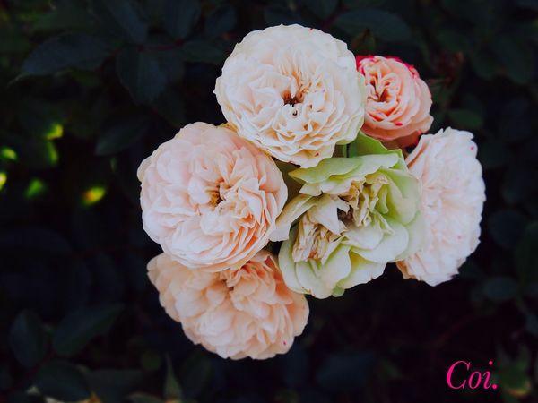Rose♥ The Rose Flower_Collection EyeEm Flower