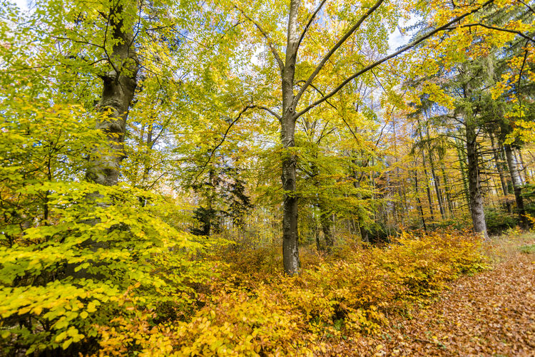 Beautiful autumnal forest with colors glad leaves. No one the sun shines beautiful peaceful scene. Tree Autumn Plant Forest Beauty In Nature Change Land Yellow Tranquility Plant Part Leaf Nature Tranquil Scene Day Growth No People Scenics - Nature Non-urban Scene Outdoors Idyllic WoodLand Autumn Collection Fall Autumn colors Autumn Leaves Autum Forrest Relaxing
