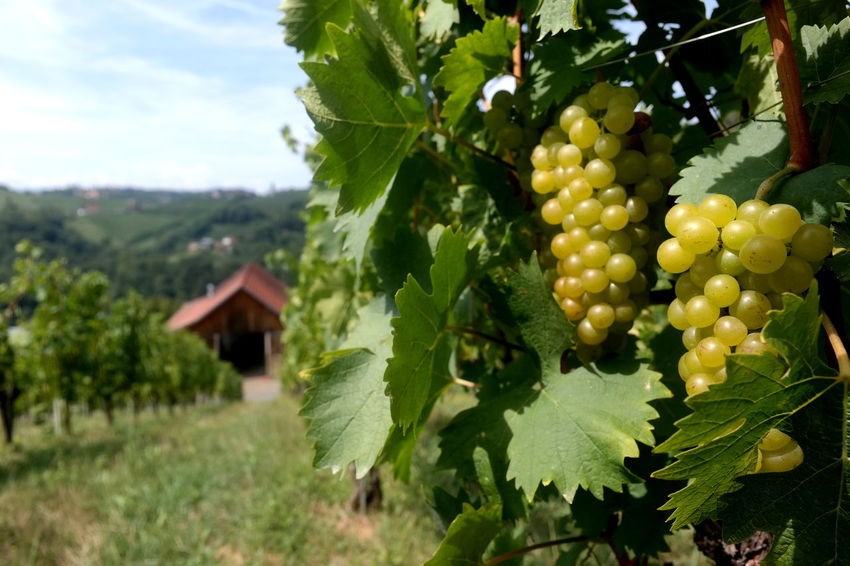 Austria ❤ EyeEm Best Shots EyeEm Nature Lover From My Point Of View Green Color Growth Landscape_Collection Steiermark The Week On EyeEm Vineyards  Agriculture Beauty In Nature Focus On Foreground Food And Drink Fruit Grape Grapes Green Color Growth Leaf Ratsch Styria Styria 💚 Südsteiermark Vineyard