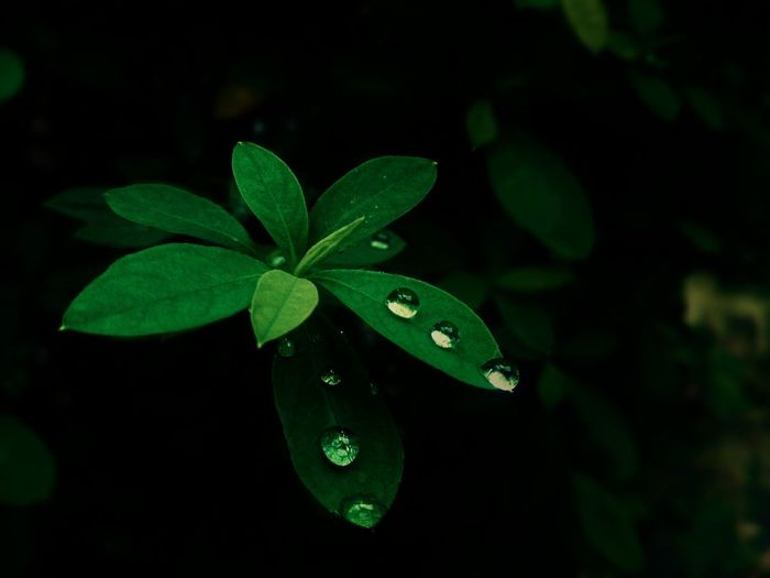 Water Droplets On Leaves Save Water Leaf Green Color Close-up Plant Nature High Angle View Butterfly - Insect Growth Fragility Herb No People Black Background Beauty In Nature Freshness Outdoors Day Likes4likes Nature Water Droplets The Week On EyeEm Perspectives On Nature