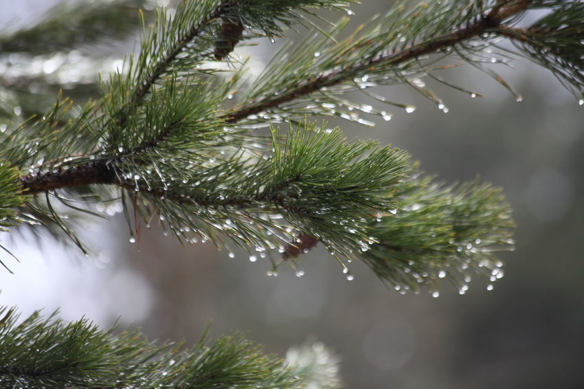 Beauty In Nature Branch Close-up Cold Temperature Day Drop Focus On Foreground Freshness Green Color Growth Nature Needle Needle - Plant Part No People Outdoors Plant Spruce Tree Tree Water Weather Wet Winter
