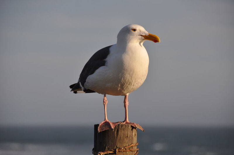 Close-up of seagull perching on sea against sky