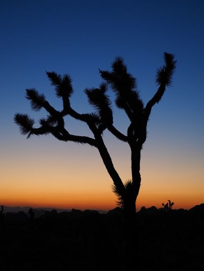 Joshua tree Tree Silhouette Sunset Nature Tranquil Scene Tranquility Beauty In Nature Landscape Outdoors Palm Tree Clear Sky Blue