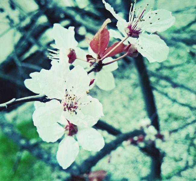 Beautiful plum blossom in spring..? Relaxing Behar Springtime Enjoying Life Flower Collection Mobilephotography EyeEmSerbia Alexandracubrak