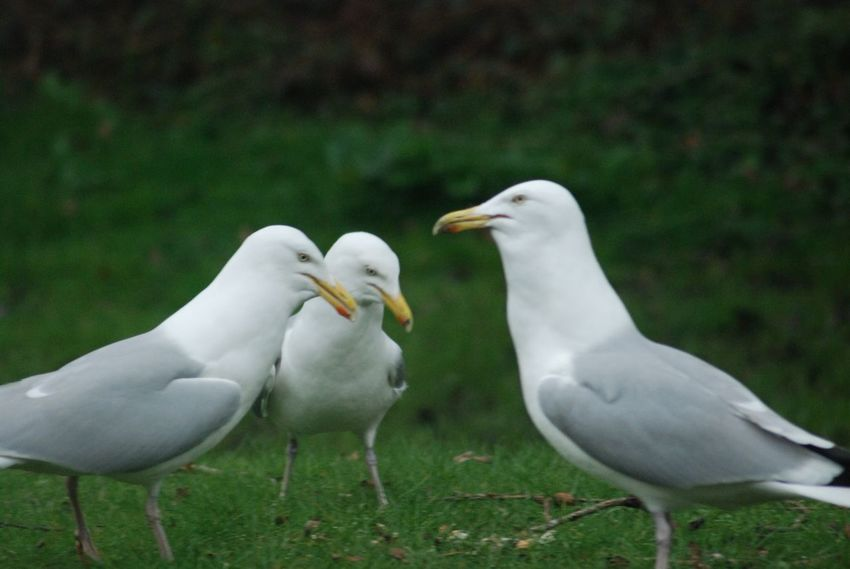Gossiping gulls Backyard Seagulls Bird Close-up Grass