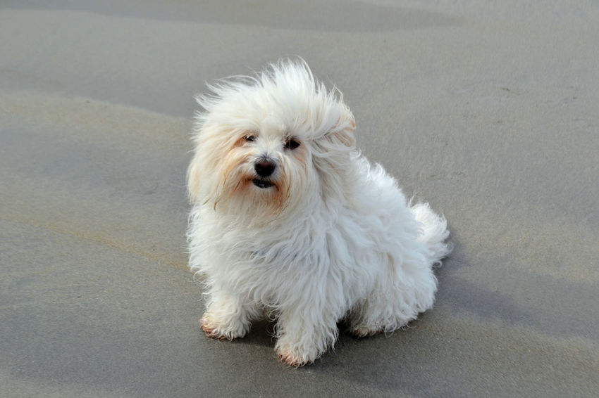 Coton de Tulear: Small white haired dog on beach. Animal Themes Beach Coton De Tulear  Day Dog Dog Photography Domestic Animals Mammal No People One Animal Pets Seaside Small Small White Dog Smartphonephotography White White Hair White Haired Dog