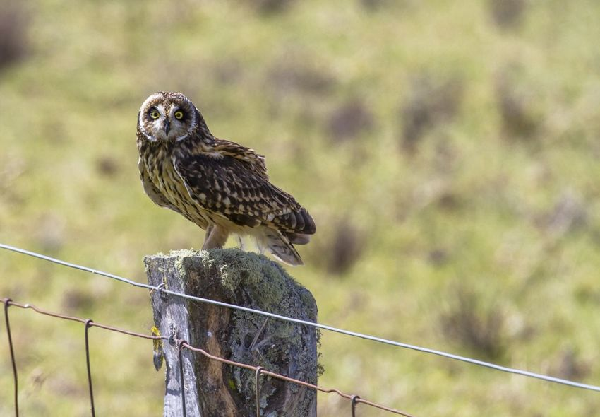Pueo Hawaii Ranch Animal Themes Animal Wildlife Animals In The Wild Bird Bird Of Prey Close-up Day Fence Focus On Foreground Nature No People One Animal Outdoors Owl Perching
