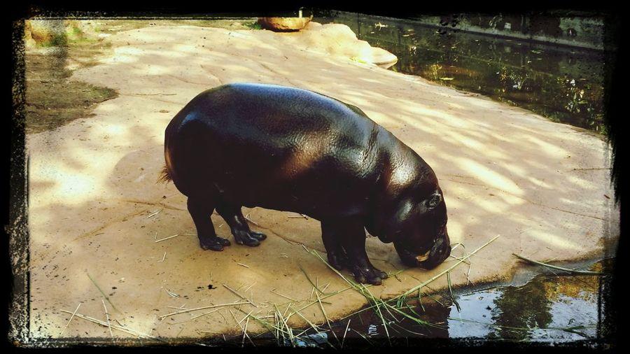London Zoo Happy Hippo London Animals