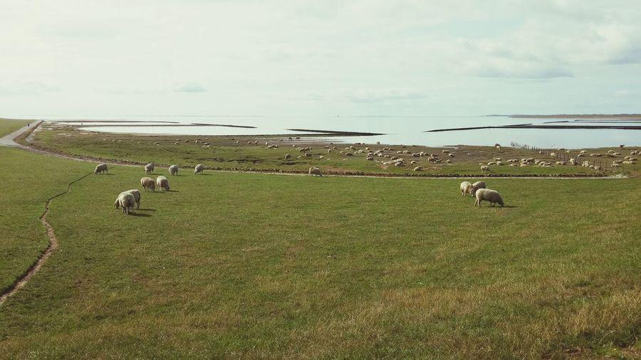 Schafe auf dem