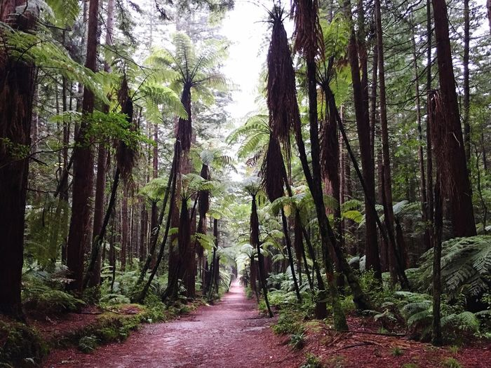 Woods and Paths Forest Walkway Nature Scenics Redwoods Walk Gloomy Weather Walkinthewoods Walkintherain Intotheredwoods