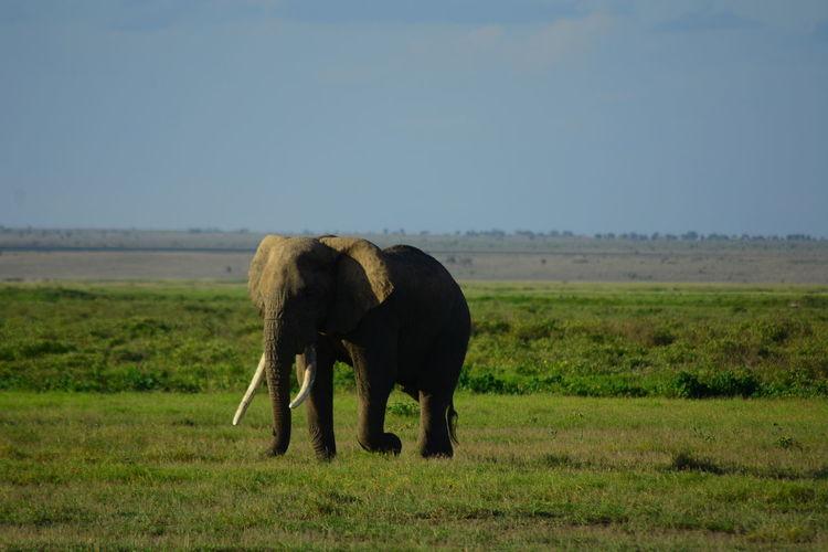 Elephant walking on field against sky