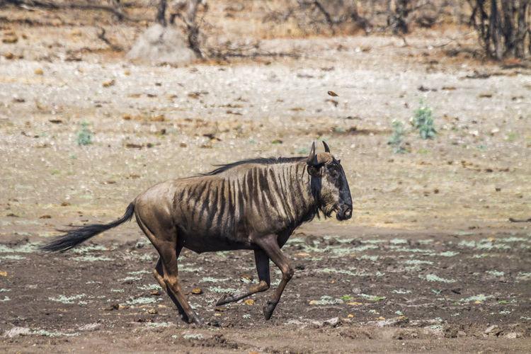 Wildebeest running on land
