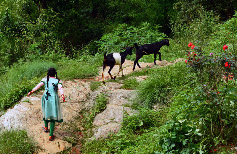 LIfe in Forest... Goats Hilly Area Domestic Animals Girl Green Color Green Forest Nature Pathway In Hills Pets Rural Field Rural Girl Rural Life Rural Scene Walking Wild Life