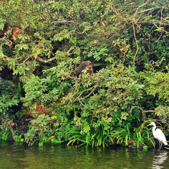 Monos y garza ? en la isla de los changos, Catemaco, Ver. Catemaco Nature
