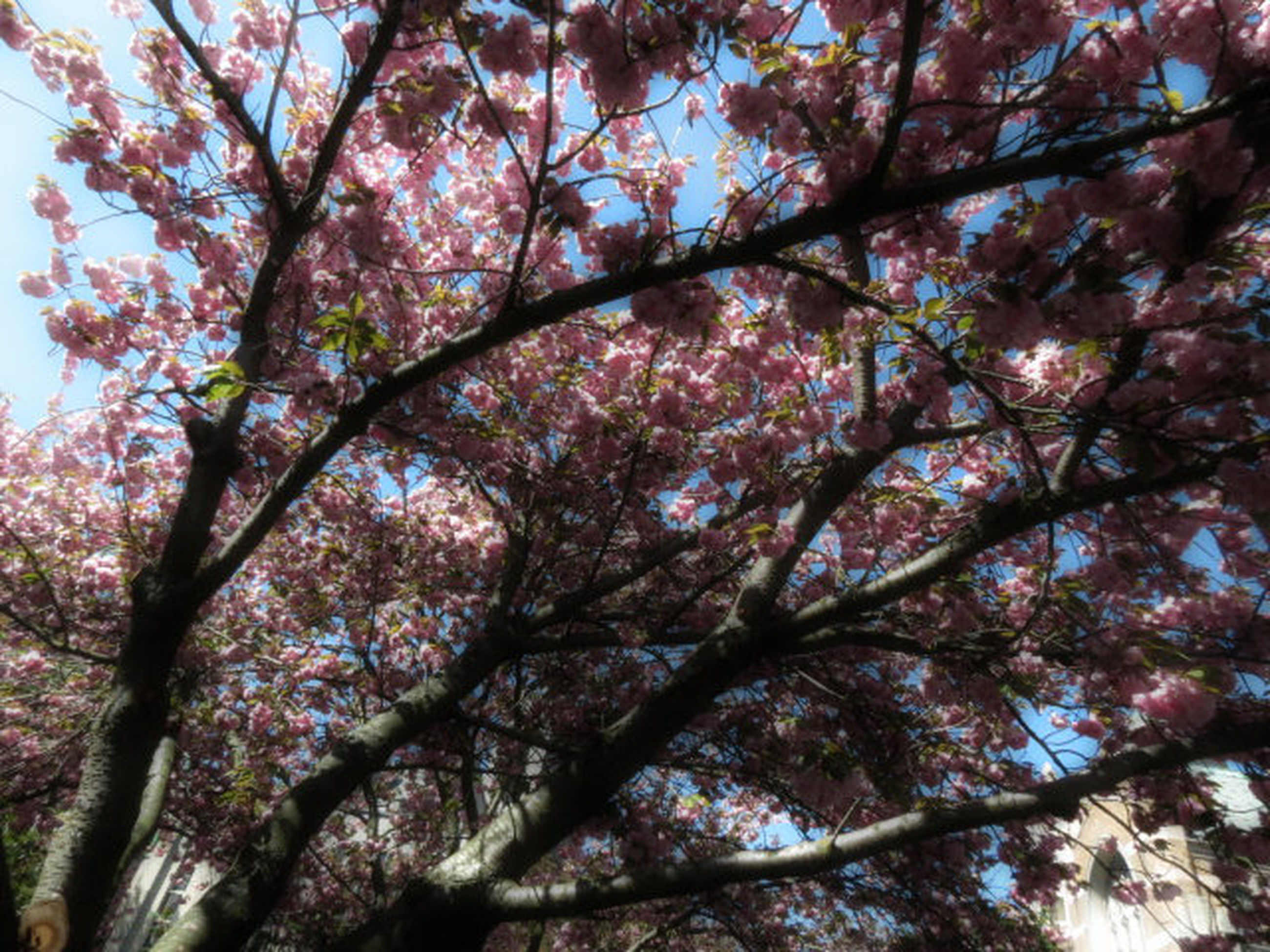 tree, low angle view, branch, flower, growth, freshness, beauty in nature, blossom, nature, cherry blossom, cherry tree, pink color, fragility, springtime, in bloom, day, sky, outdoors, backgrounds, no people