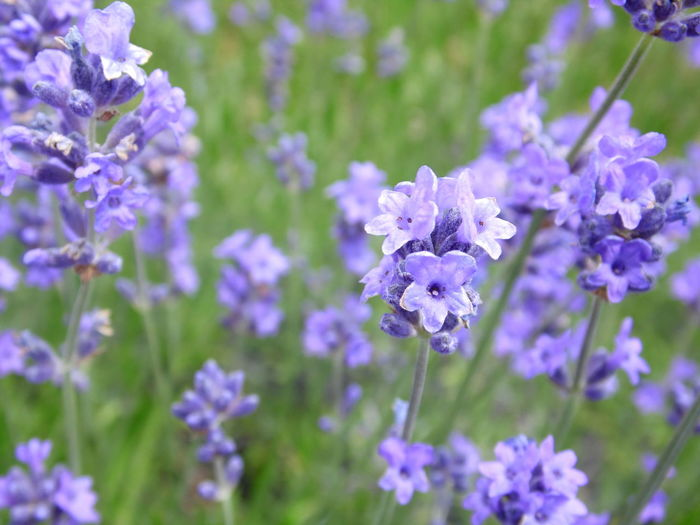 Lavender Field Beauty In Nature Blooming Close-up Day Flower Flower Head Fragility Freshness Growth Lavender Nature No People Outdoors Petal Plant Purple Flowering Plant Blossom In Bloom Botany Lavender Colored Plant Life