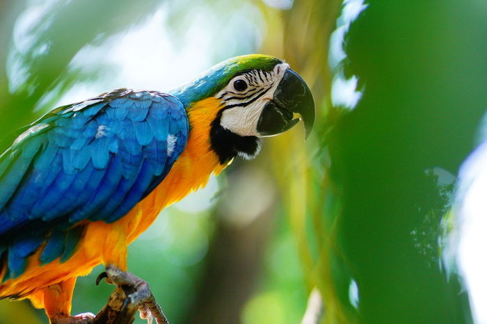 Macaw Gold And Blue Macaw Parrot Bird Blue Multi Colored Perching Close-up Green Color Tropical Bird