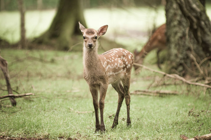 Alertness Animal Animal Themes Beauty In Nature Close-up Day Deer Fawn Field Focus On Foreground Grass Grassy Landscape Mammal Nature No People Outdoors Portrait Selective Focus Sikadeer Tree Trunk