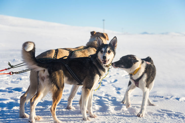 A beautiful six dog team pulling a sled in beautiful Norway morning scenery. Winter sports for dog lovers. Sunny, foggy morning. Winter Snow Cold Temperature Nature Dog Sled Dog Husky Teamwork Race